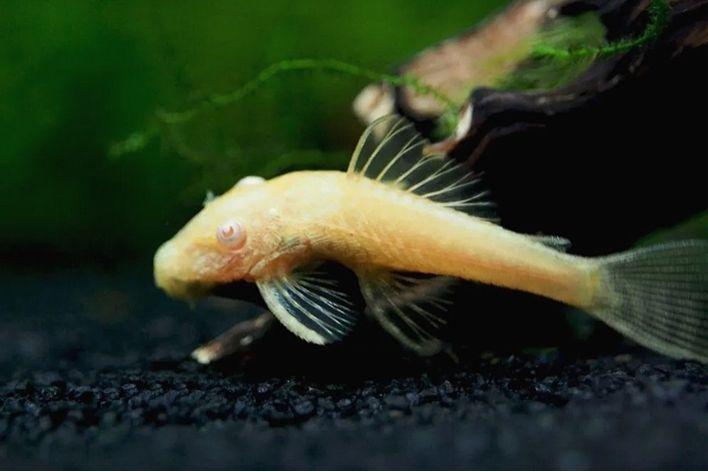 Cascudo Ancistrus Albino | 5 a 6 cm|  - KAUAR