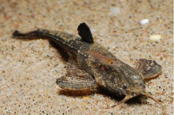 Cascudo  Banjo | Bunocephalus coracoideus  - KAUAR