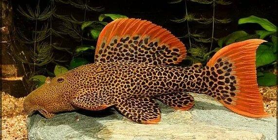 Cascudo Leopardo | 22 a 25 cm| Cascudo L600  - KAUAR