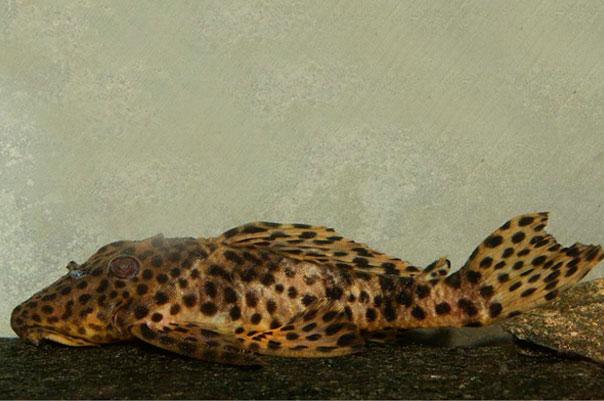 Cascudo Onça Amarela | Cascudo L172  - KAUAR