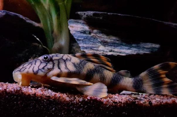 Cascudo Tigre | L015  - KAUAR