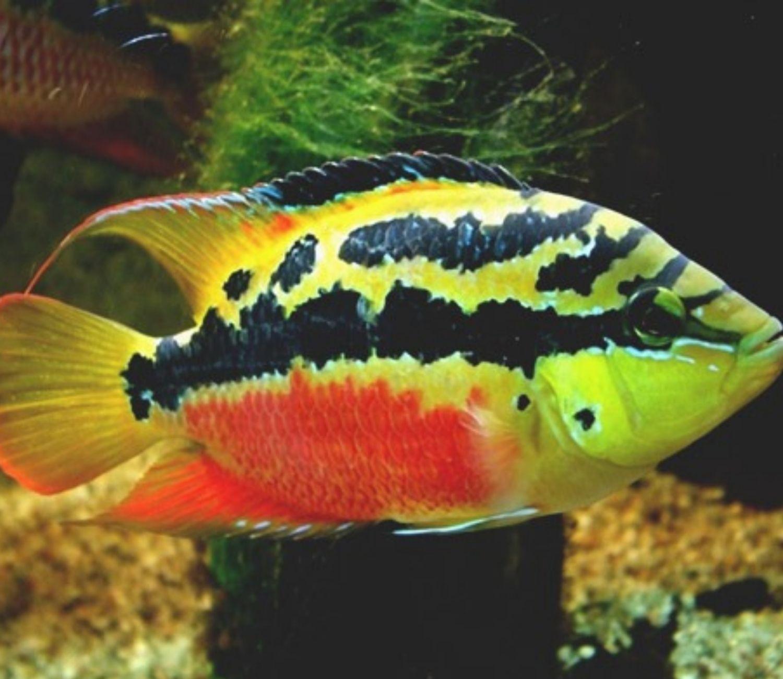 Ciclídeo Salvini   Trichromis salvini  - KAUAR