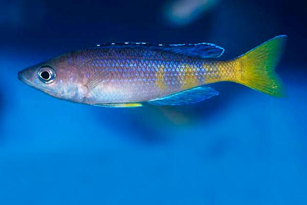 Ciprichromis Leptosoma Kitumba   Lago Tanganica  - KAUAR