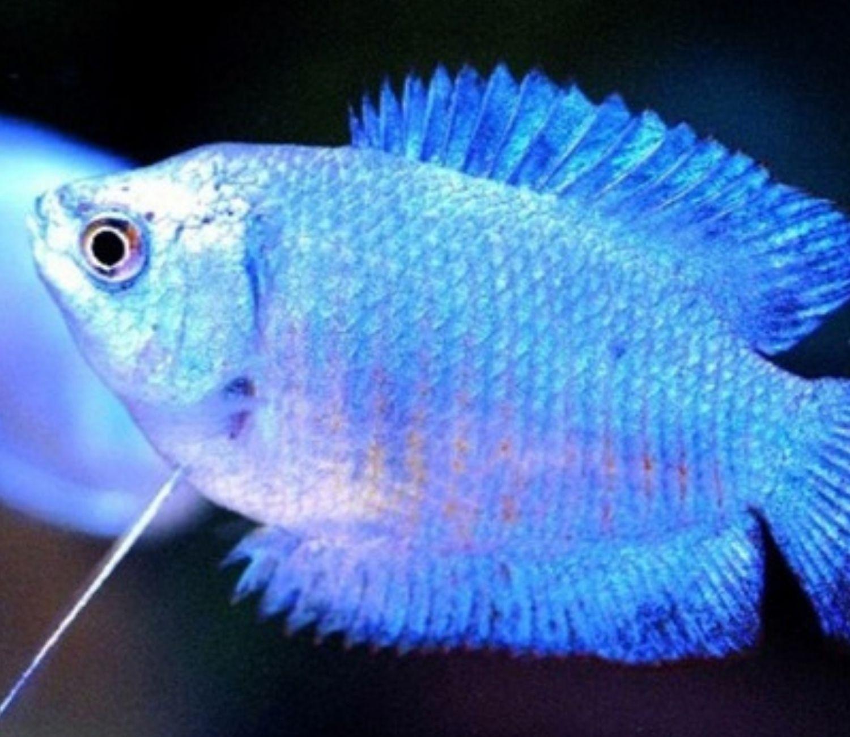 Colisa Azul | trichogaster lalia   - KAUAR