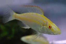 Dimidiochromis Compressiceps Albino | 2,5 a 4 cm | Ciclídeo africano  - KAUAR