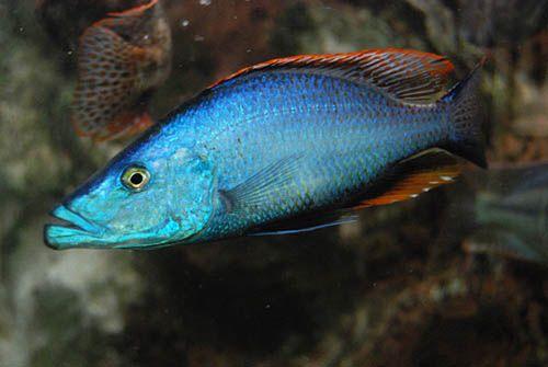 Dimidiochromis Compressiceps Azul | 2,5 a 4 cm | Ciclídeo africano  - KAUAR