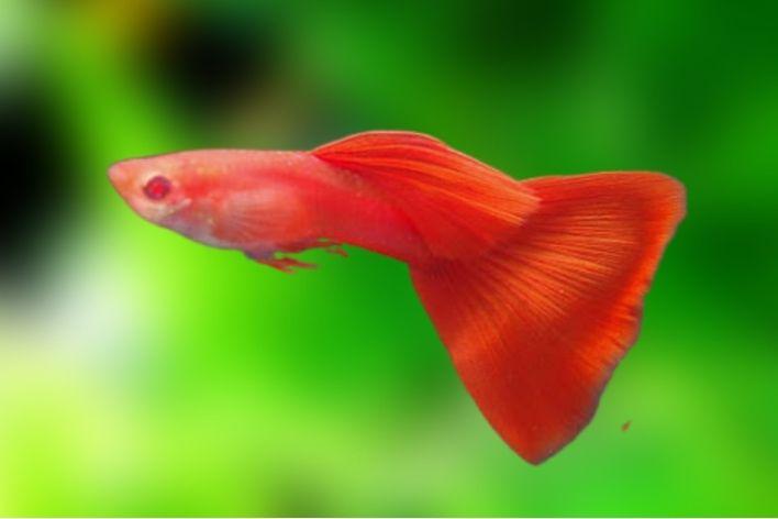 Guppy Full Red Albino Casal | Poecilídeos  - KAUAR