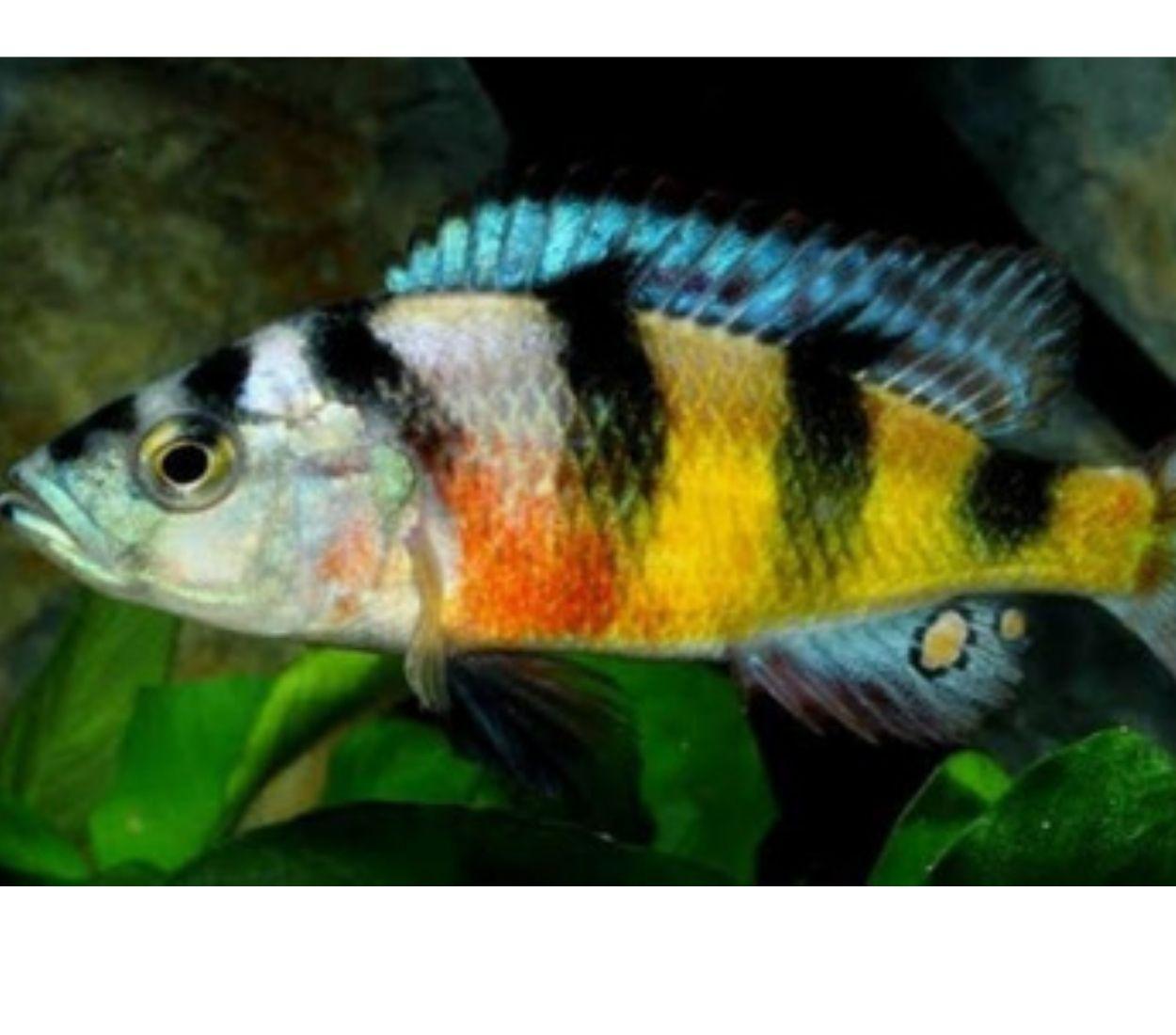 Haplochromis Zebra Obliquidens |4 a  6 cm|  - KAUAR