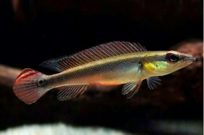 Jacundá | Crenicichla notophthalmus | 9 cm a 10 cm  - KAUAR