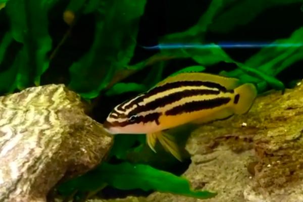 Julidochromis Ornatus  - KAUAR