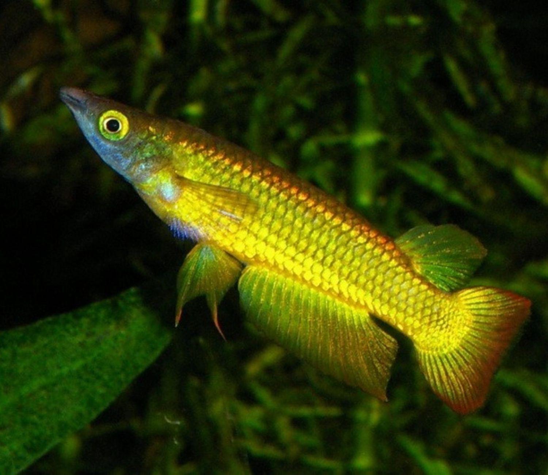 Killifish Golden panchax   - KAUAR