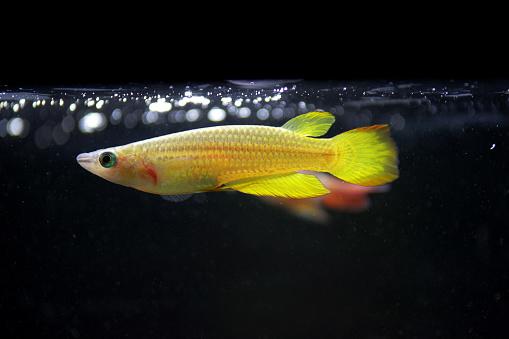 Killifish Golden Panchax - Importado  - KAUAR