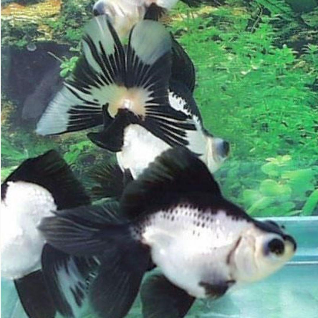 Kinguio Oranda Panda  - KAUAR