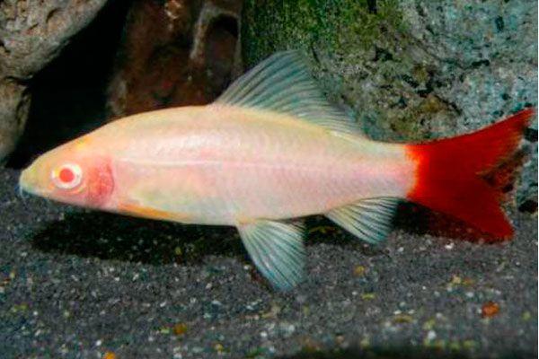 Labeo Bicolor Albino | 2 a 3 cm | Epalzeorynchos bicolor  - KAUAR