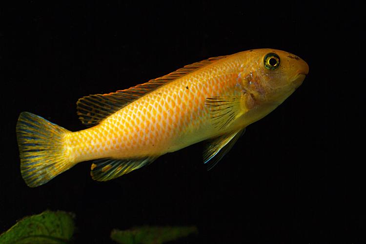 Labeotropheus Trewavasae Red Top | 4 a 5 cm  - KAUAR
