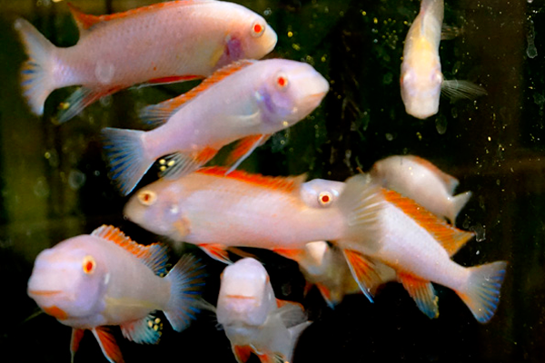 Labeotropheus Trewavasae Red Top Albino | 4 a 5 cm   - KAUAR