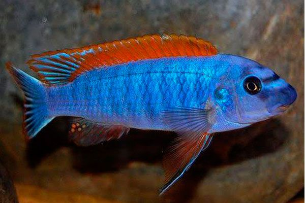 Labeotropheus Trewavasae Red Top | 4 a 5 cm   - KAUAR