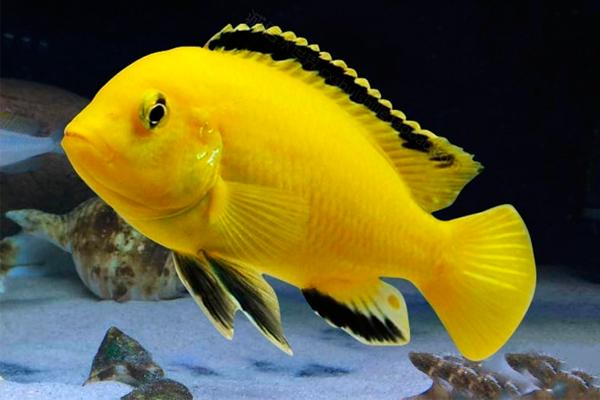 Labidochromis Caeruleus Super Yellow 2 a 4 cm | Lago Malawi  - KAUAR