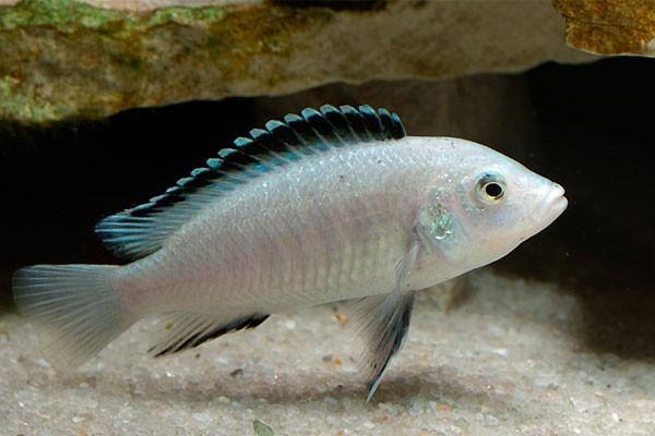 Labidochromis Caeruleus White | Lago Malawi  - KAUAR