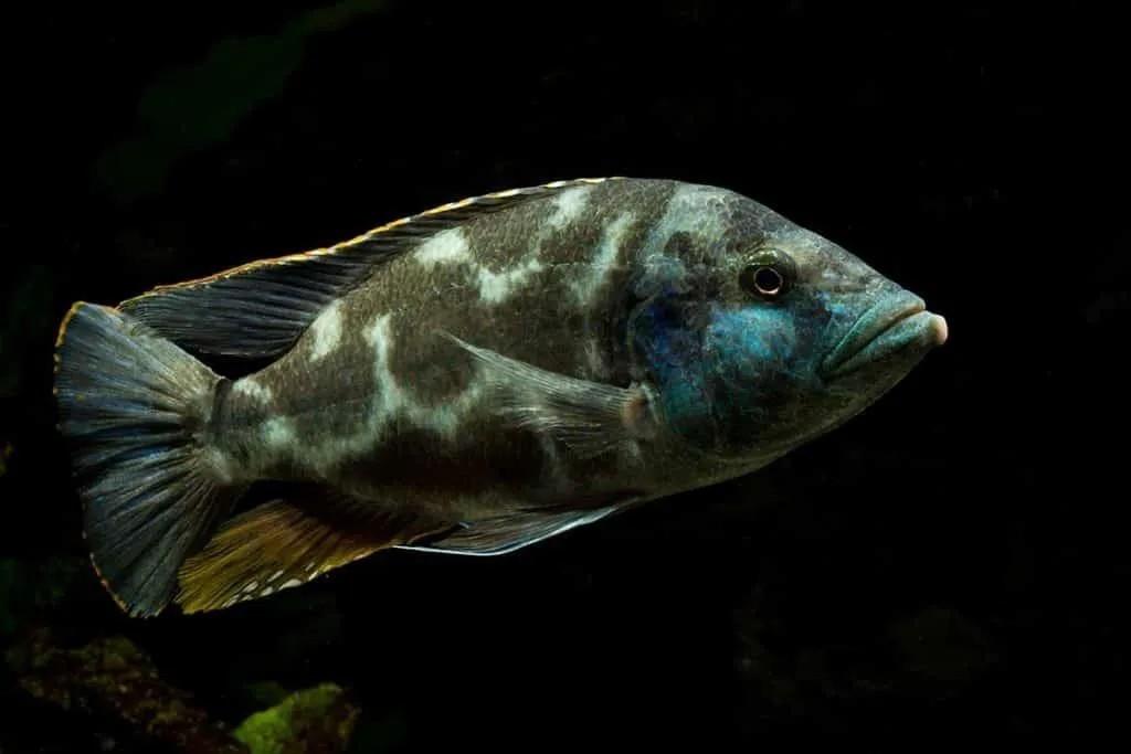 Livingstone | Nimbochromis livingstonii | Ciclídeo Africano | Lago Malawi  - KAUAR
