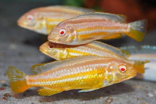 Melanochromis Auratus Albino | Lago Malawi  - KAUAR