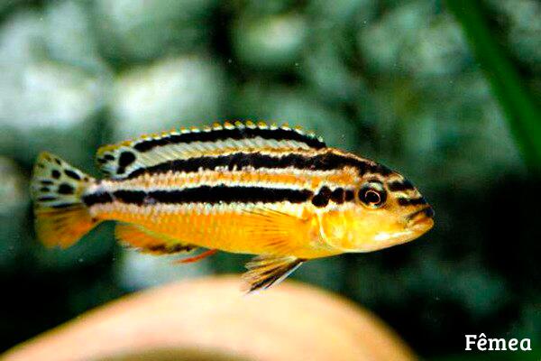 Melanochromis Chipokae  - KAUAR