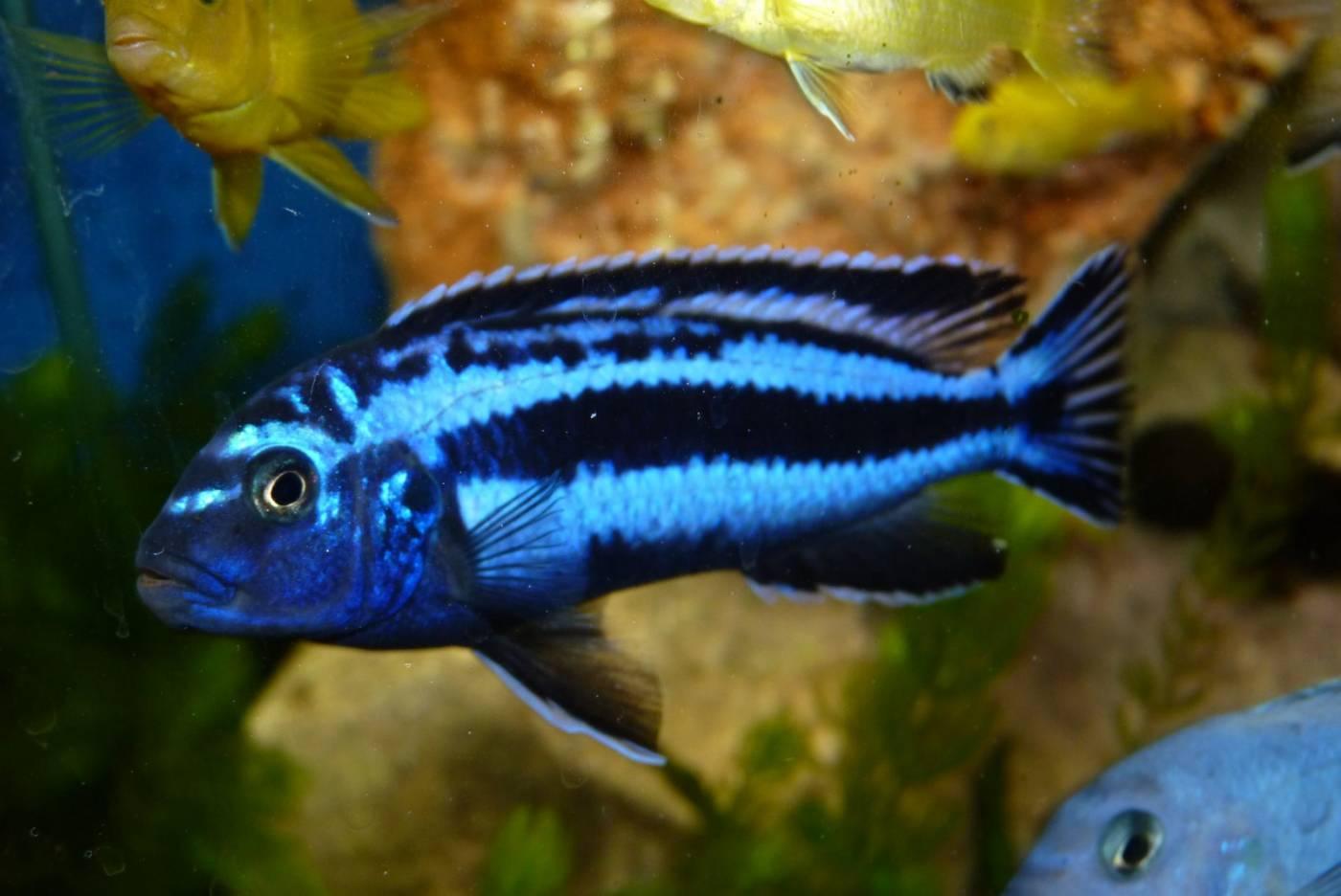 Melanochromis Maingano | Auratus Azul Verdadeiro  - KAUAR