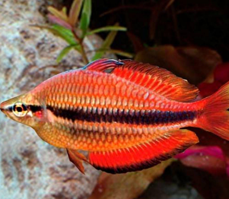 Melanotaenia Trifasciata Red Gold  - KAUAR