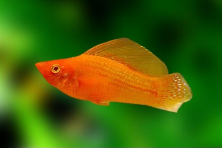 Molinésia Vermelha Velífera Super Red   Poecilídeos  - KAUAR