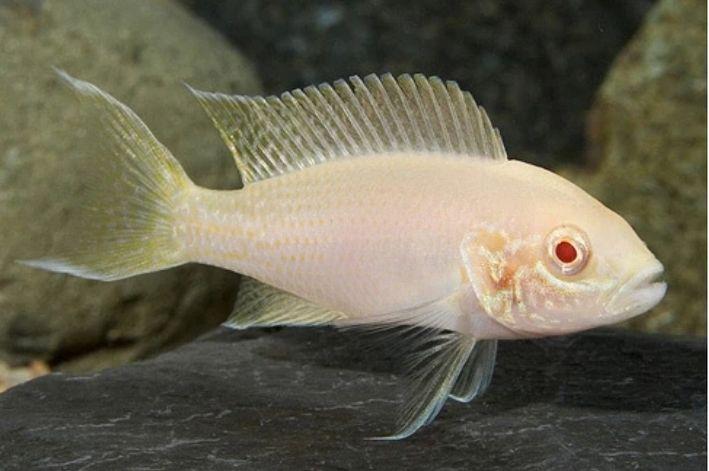 Neolamprologus Brichardi Albino | Lago Tanganica  - KAUAR