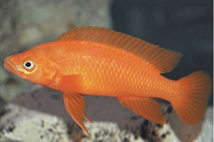 Neolamprologus Leleupi Orange  - KAUAR