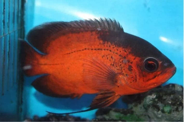 Oscar Red Ruby | 6 a 8 cm|  Astronotus ocellatus  - KAUAR