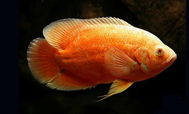 Oscar Red Ruby  Albino Importado  5 a 6 cm   Astronotus ocellatus  - KAUAR