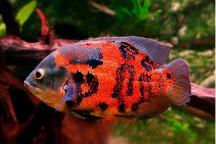Oscar Red Tiger | 7 a 9 Cm | Astronotus ocellatus  - KAUAR