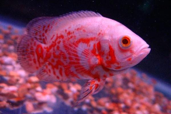 Oscar Red Tiger Albino  - KAUAR