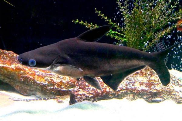 Pangassius Comum | Pangasianodon hypophthalmus  - KAUAR