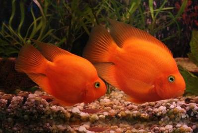 Papagaio Vermelho | 4 a 5 cm  - KAUAR