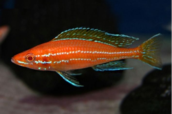 Paraciprichromis Nigripinnis Blue Neon Albino   Ciclideos Lago Tanganyka  - KAUAR
