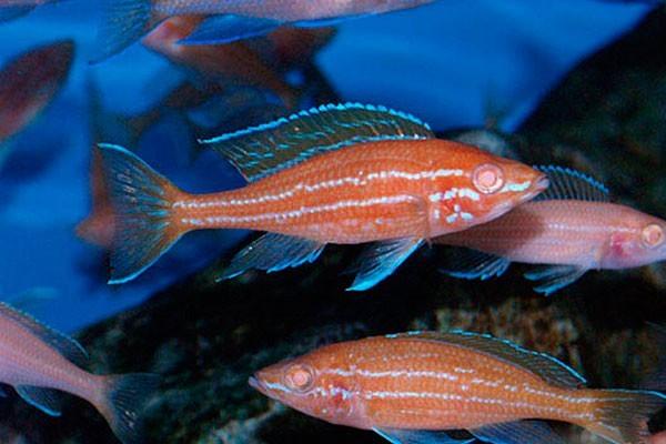 Paraciprichromis Nigripinnis Blue Neon Albino | Ciclideos Lago Tanganyka  - KAUAR