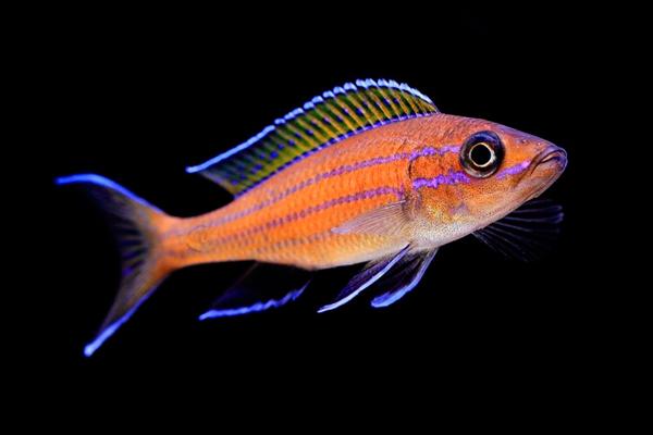 Paraciprichromis Nigripinnis Blue Neon | Lago Tanganica  - KAUAR