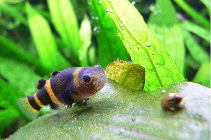 Peixe Abelhinha | 2 a 3 cm | Brachygobius xanthozonus  - KAUAR