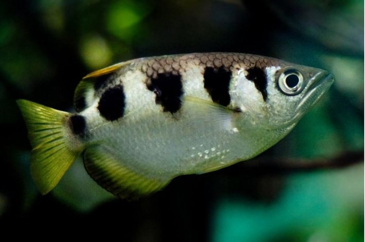 Peixe Arqueiro | Toxotes jaculatrix  - KAUAR