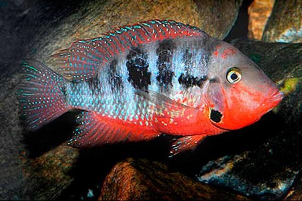 Peixe Boca de Fogo  - KAUAR