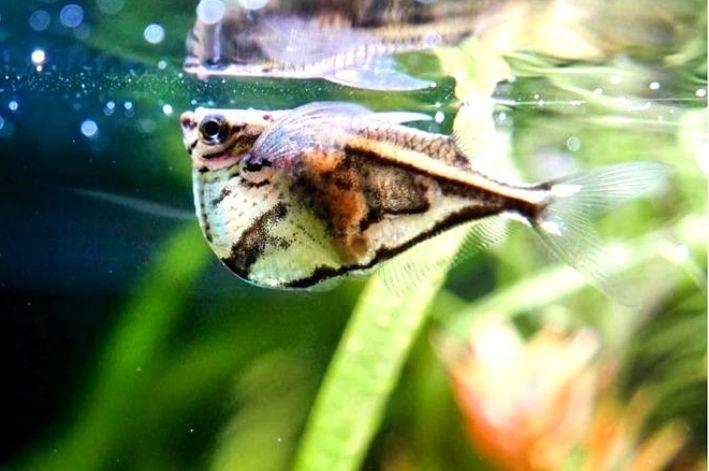 Peixe Borboleta | Carnegiella Strigata  - KAUAR