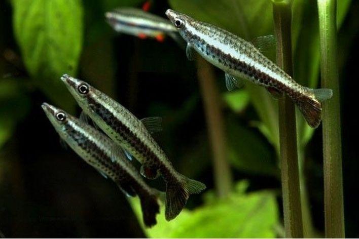 Peixe Lápis   Nannostomus eques  - KAUAR