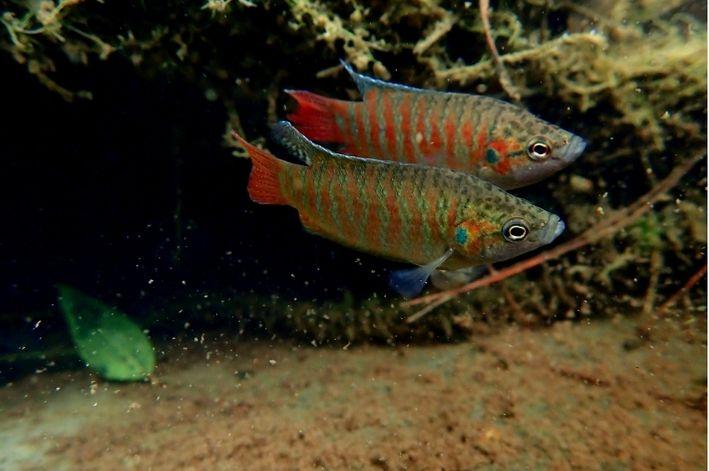 Peixe Paraíso | 3 a 5 cm | Macropodus opercularis  - KAUAR