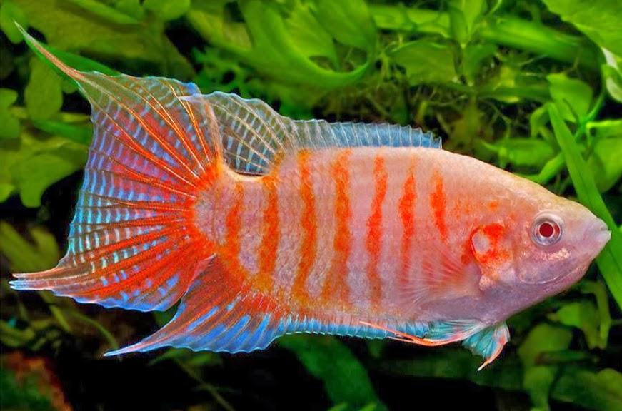 Peixe Paraíso Albino | 3 a 5 cm | Macropodus opercularis  - KAUAR