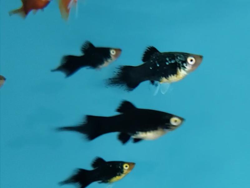 Plati Negro Seta | Xiphophorus Machulatus | Poecilídeos  - KAUAR