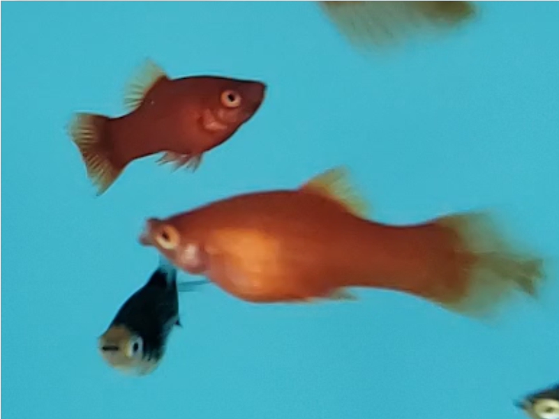 Plati Red Coral Seta | Xiphophorus Machulatus | Poecilídeos  - KAUAR