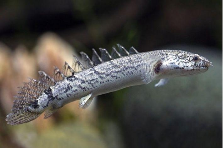 Polypterus Delhezi | 7 a 8 cm  - KAUAR
